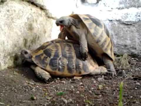 Accoppiamento fra tartarughe youtube for Accoppiamento tartarughe