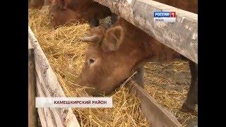 В Пензенскую область завезены коровы лимузины