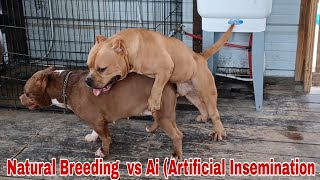 Natural Breeding vs A.i. (Artificial Insemination) Raw Footage you don't want to miss.