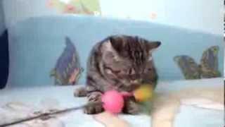 Супер милый котенок экзот