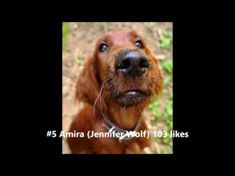 Most Beautiful Irish Setter Red 2015