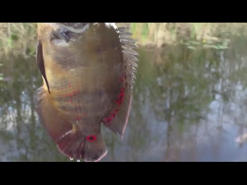 Oscar Cichlid Fishing Compilation Best Of 2015
