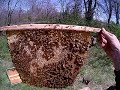 Overwintered top bar hive inspection part 1 of 2
