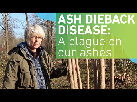 Ash dieback disease: A plague on our ashes