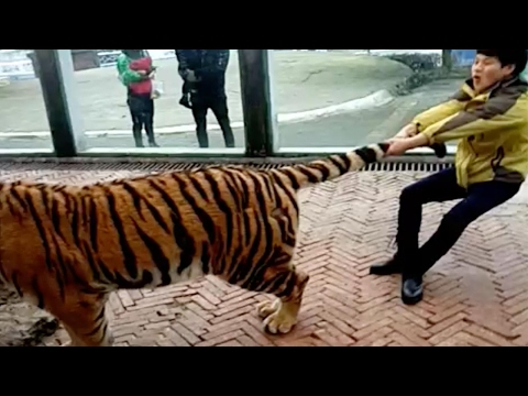 Public roar over man tugging tigers by the tail in SW China
