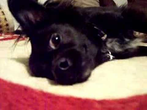 My Black Long Haired Hair Chihuahua Booboo Part 1 Youtube