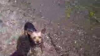 Yorkshire Terrier / Good Boy 1