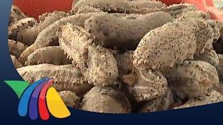 Decomisan pepino de mar en Celestún   Noticias de Yucatán
