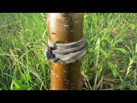 Как защитить дерево от муравьев - копеечный способ