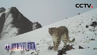 [中国新闻] 红外相机在阿尔金山拍到雪豹画面 | CCTV中文国际
