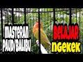 Masteran Lovebird Paud Balibu Belajar Ngekek  Mp3 - Mp4 Download