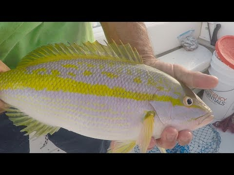 Yellowtail Fishing Tactics In The Florida Keys