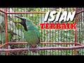 Cucak Ijo Gacor Ngeplong Bongkar Isian Full Muzarab Buat Pancingan Dan Masteran  Mp3 - Mp4 Download