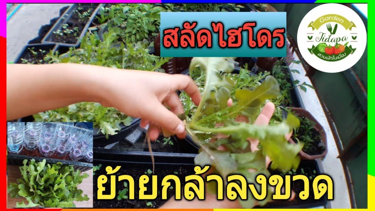 ปลูกผักสลัด ในขวดน้ำ : ผักไฮโดรโปนิกส์, hydroponics grow in container, grow vegetable at home. ep.27