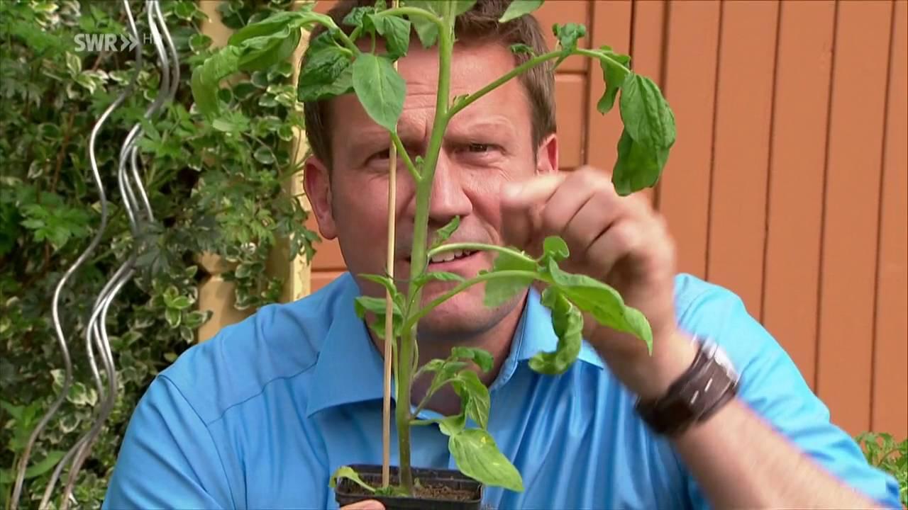 Tomaten Pflanzen Youtube
