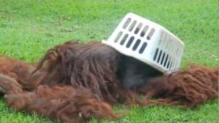 Funny animal videos: Rusti the orangutan has a rough day