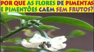 Por que as flores de Pimenta e Pimentão Caem? Será falta de Polinização?