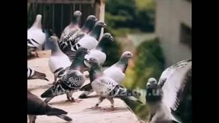 Спортивные голуби, или Из Украины в Румынию без билета(Знаете ли вы, что спортивными бывают не только люди, но и… птицы. Вот, например, какими вы себе представляете..., 2016-08-09T12:08:18.000Z)