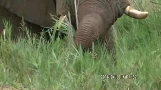 海外旅行 南アフリカサファリー 象