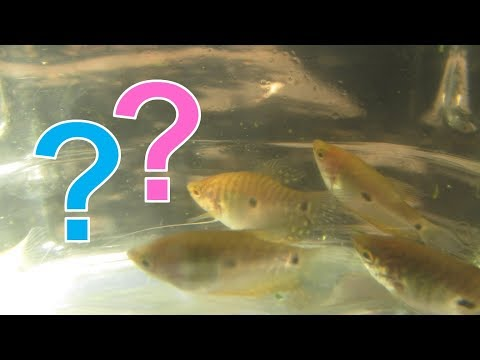 How To Tell Male And Female Gouramis Apart For Blue, Gold, Three Spot And Opaline Gouramis