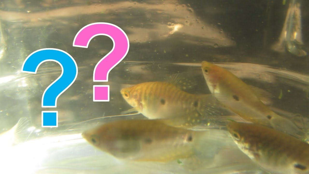 How To Tell Male And Female Gouramis Apart For Blue, Gold -3818
