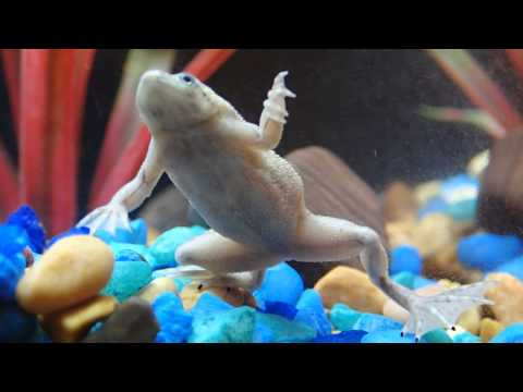African Dwarf Frog SINGING!