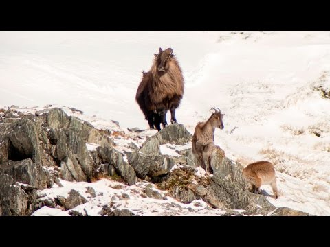 Tahr Hunt New Zealand West Coast  2015
