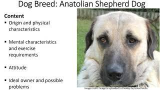Dog Breed Series: Anatolian Shepherd Dog Breed