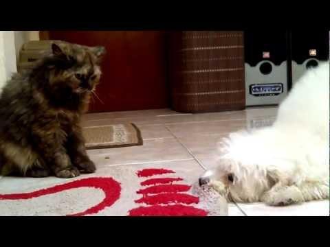 poodle dog vs persian cat