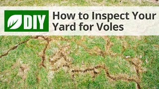 How to Inspect Your Yard for Voles