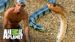 !Las serpientes mas venenosas del mundo! Wild Frank En busca del dragon Animal Planet