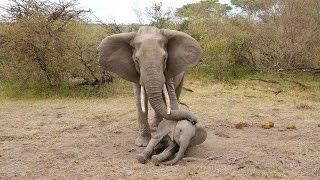 Mother Elephant Tries To Rouse Her Unconscious Calf thumbnail