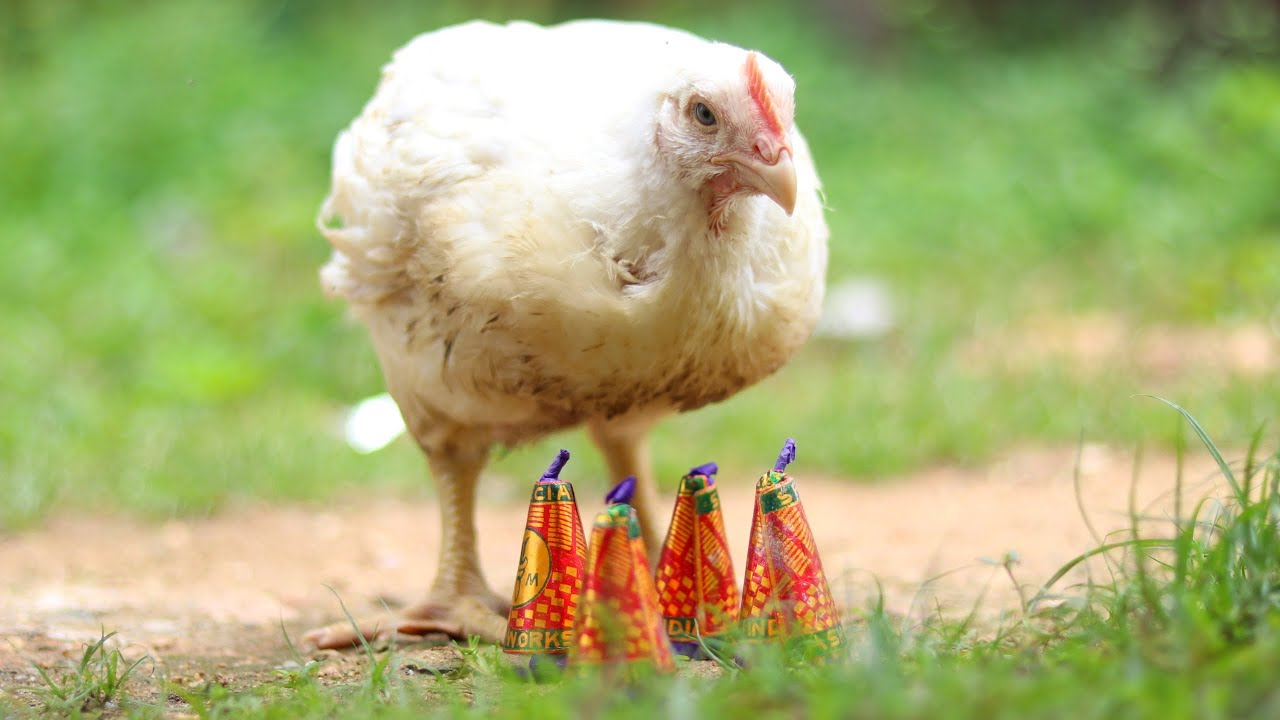 Chicken VS Anar Bomb / 100 % Real & Safe Experiment But Shocking Result |  @Crazy XYZ ||