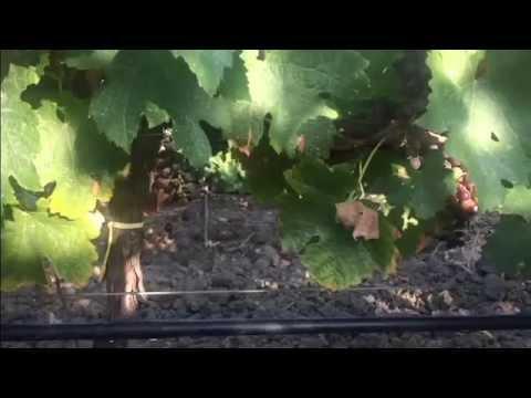 Irrigazione Di Soccorso Cantine Barbera Vini Menfi Sicilia