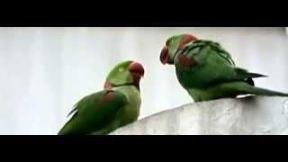 亞歷山大鸚鵡 - Kiss !