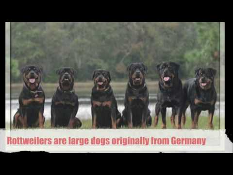Most Popular Dog Breeds is the Rottweiler!