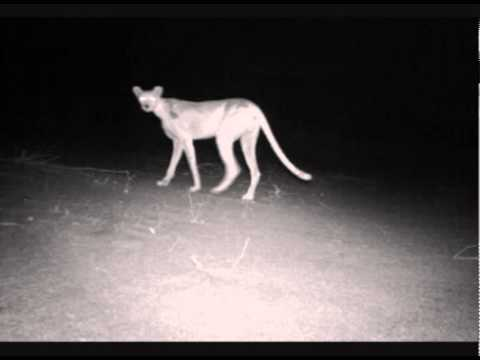 Elusive Ghostly Cheetah Photograghed in Niger, Africa!!