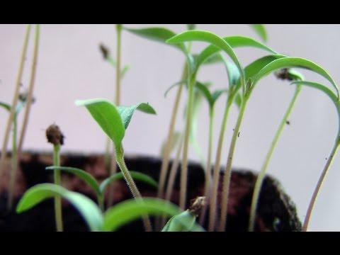 видео: Посев семян томатов на рассаду