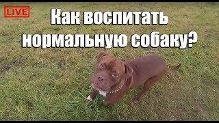 Совет собаководам. Как воспитать нормальную собаку? Питбуль red nose