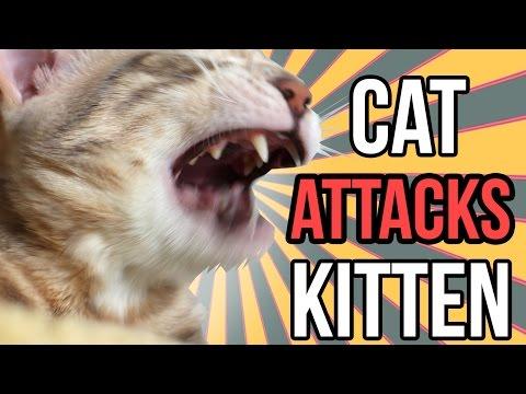 Cat Attacks Kitten! GRAPHIC!