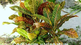 Decorative Plants For Home & Names of Ornamental Plants