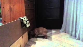 Как ведут себя щенки в первый день дома