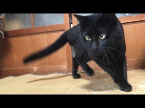 超真剣☆念入りに部屋を調べまわる猫 Naughty cat