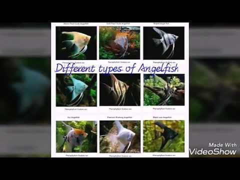 Popular Different Types Of AngelFish