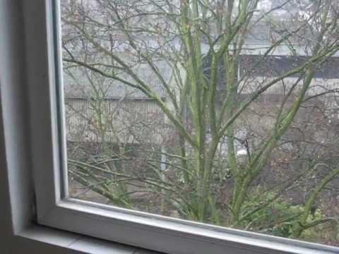Bachstelze Fliegt Gegen Fenster
