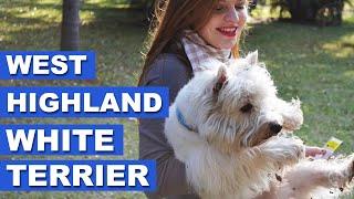 West Highland White Terrier - Quatro Patas com Juzão!
