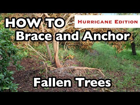 HOW TO Brace and Anchor Fallen Trees (3 ways!)