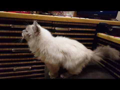 Невские маскарадные котята.