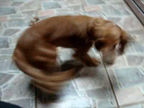 cachorro correndo atras do rabo youtube