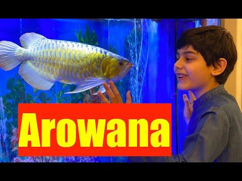 Dragon Fish | Arowana Aquarium | How To Buy Arowana | Rare Arowana Fish | Feeding Arowana Goldfish